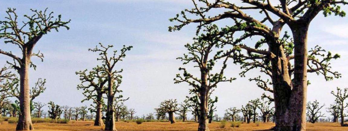 Paysage du Sénégal - Les Baobabs
