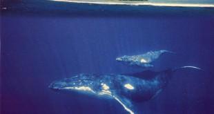 Baleines de Polynésie