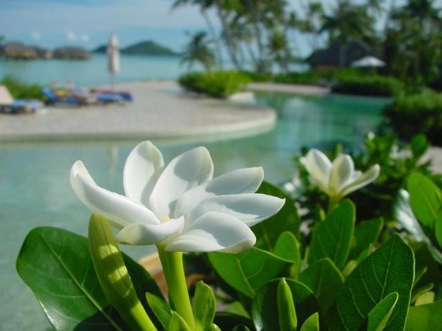 Tiare de Tahiti
