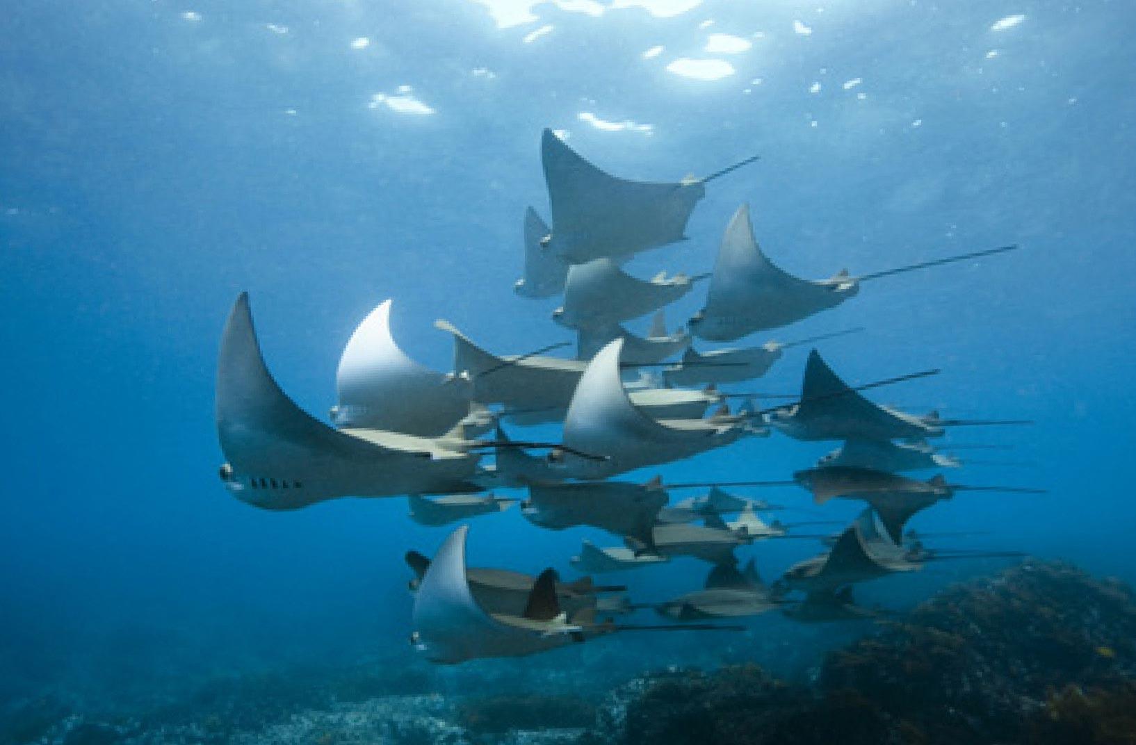 Groupe de Raies Mantas en Polynésie