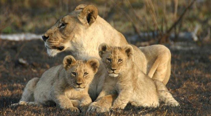 afrique-du-sud-lion