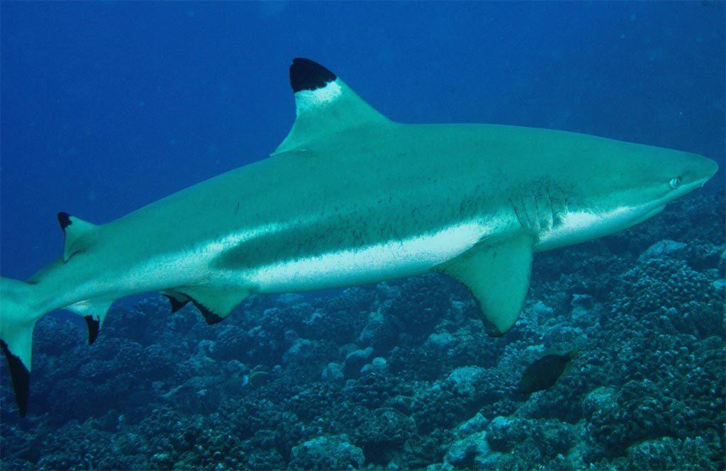 requin à pointe-noire