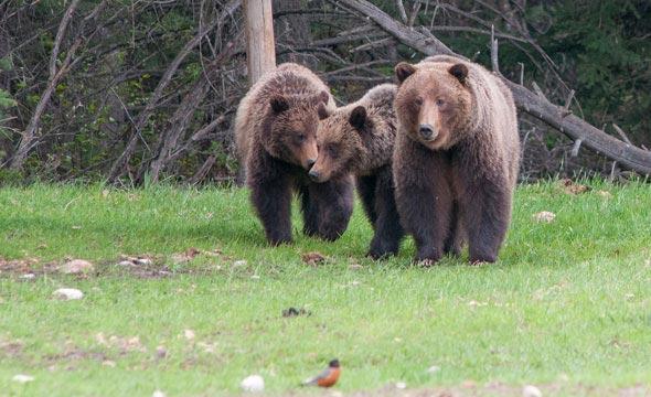 grizzli-Jasper-canada