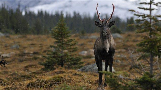 caribou-bois
